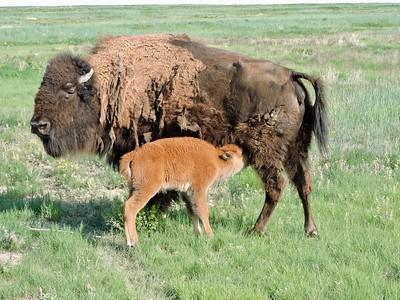 bison calf nursing on mother bison